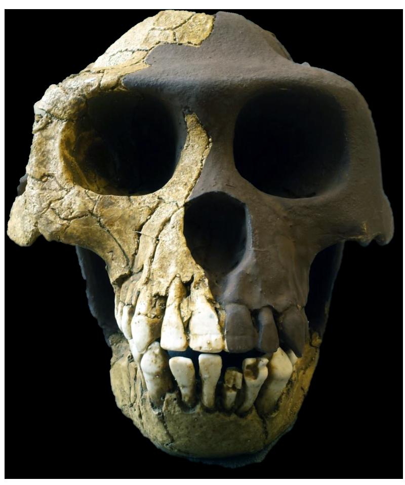 ardipithecus ramidus Ardipithecus ramidus ist der name einer 4,4 millionen jahre alten art der menschenaffen aus der gattung ardipithecus, deren fossilien bisher nur in Äthiopien.